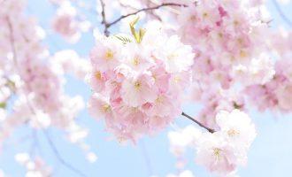 japanese-cherry-trees-724292_640